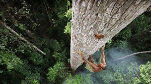 Treetop honey gathering