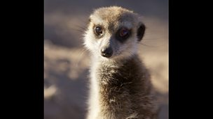 Meerkats:Secrets of an Animal Superstar