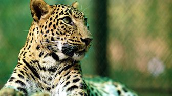 Natural World, Leopards: 21st Century Cats