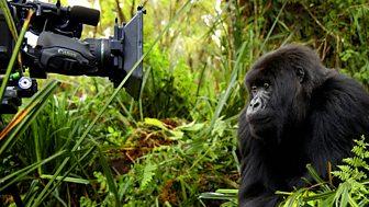 Natural World - 2008-2009: 1. Titus - The Gorilla King