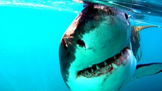 Natural World - 2008-2009: 6. Great White Shark - A Living Legend