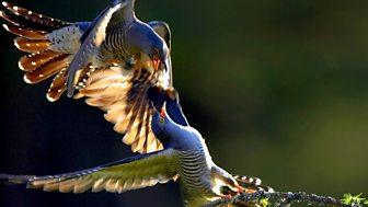 Natural World - 2008-2009: 7. Cuckoo