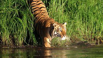Natural World - 2008-2009: 10. Man-eating Tigers Of The Sundarbans