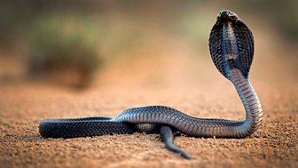 Natural World - 2010-2011: 13. One Million Snake Bites