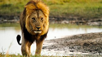 Natural World - 2015-2016: 10. Return Of The Giant Killers: Africa's Lion Kings