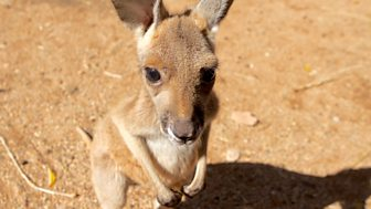 Natural World - 2016-2017: 4. Kangaroo Dundee And Other Animals Pt 1