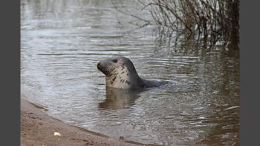 Grey Seal in Bewdley