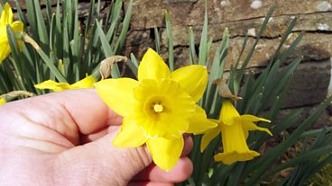 The Tenby Daffodil