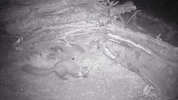 Pine Marten night camera trap at Kindrogan Field Centre, Perth.