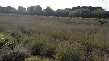 Wiltshire's only Lavender Farm