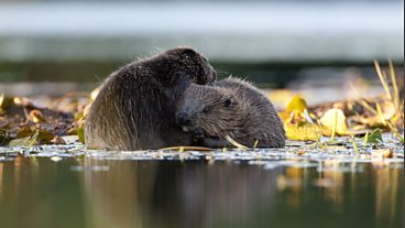 The beavers of Knapdale