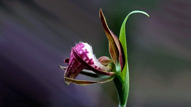 Image for The Orchid that won't flower for 100 years