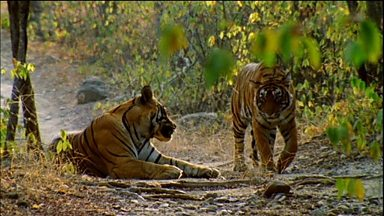 Image for Tigers Mating