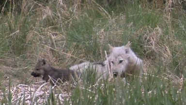 Image for Wolf mum feeds pups