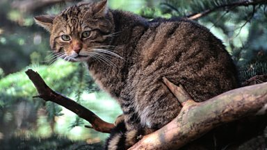 Image for Reporter Karen Partridge visits Kerry Kilshaw on the Morvern peninsula in Western Scotland in search for the elusive Wildcat