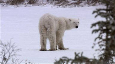 Image for Living with cold: polar bears