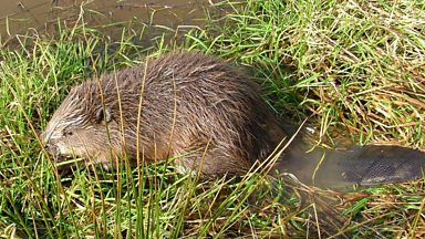 Image for The Devon Beaver Project