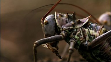 Image for Carnivorous crickets