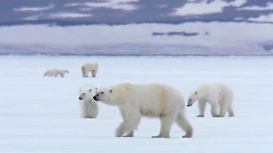 Image for Polar bear central
