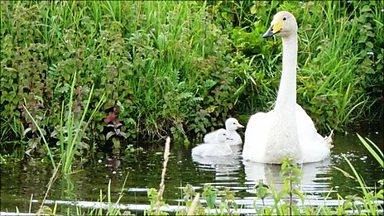 Image for Whooper and Bewick's Swans Spectacle at WWT Welney