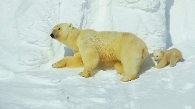 Image for Polar Bears in Svalbard