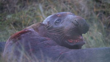 Image for Blakeney grey seal diary part 3