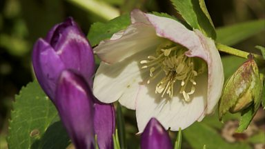 Image for Carol shows how to cross-pollinate hellebores