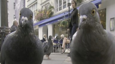 Image for Pigeon success story