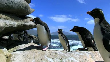 Image for Rockhopper Penguins Hop Their Way to the Top