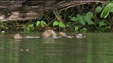Image for Cute otter cubs learn to swim