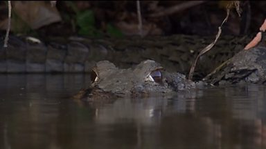 Image for Giant Otter vs Caiman