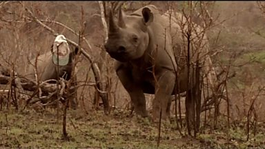 Image for Attracting a rhino's attention