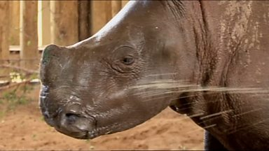 Image for Orphaned baby rhino