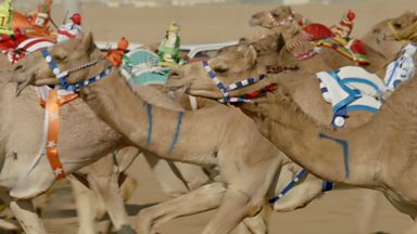 Image for 21st century camel race