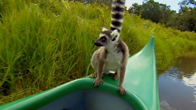 Image for Close lemur encounter