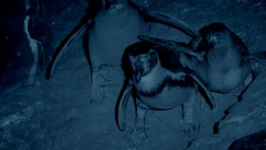 Image for Vampire bats feed on Humboldt Penguins