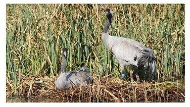 Image for Cranes nest building at Slimbridge WWT