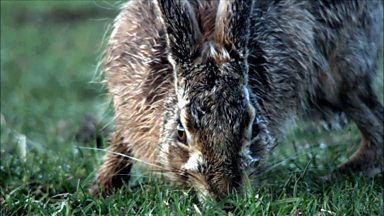 Image for Hares romp on the fields of Tiree