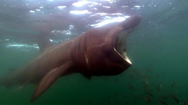 Image for Basking sharks