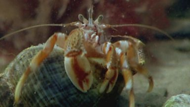 Image for Homely hermit crabs