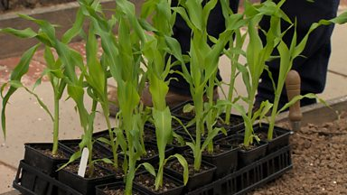 Image for Planting out sweetcorn