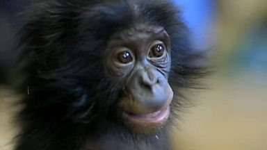 Image for Professor Alice Roberts meets a baby bonobo