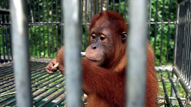 Image for The quarantine of Sumatran Orangutans