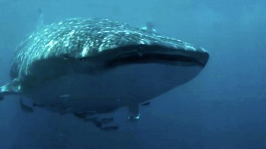 Image for Swimming with whale sharks