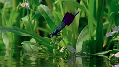 Image for Damselfly Courtship