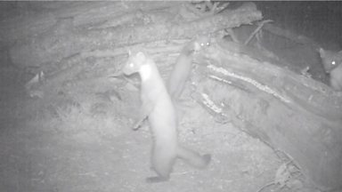 Image for An unknown pine marten family at 23:58