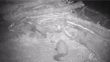 Image for An unknown pine marten family witnessed on the night camera trap at 23:57
