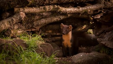 Image for Trai Anfield goes in search for pine martens in Central Scotland