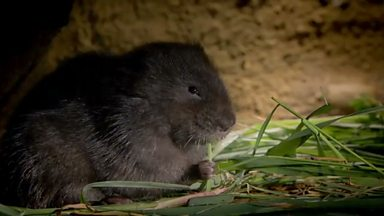 Image for Water voles: engineers of the riverbank