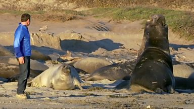 Image for Male northern elephant seals face off